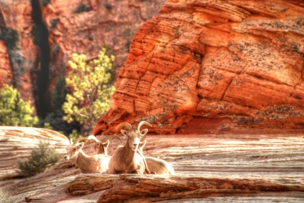 Wilderness Wednesday, we ran into these Big Horn Sheep while on an RV Trip to Zion National Park