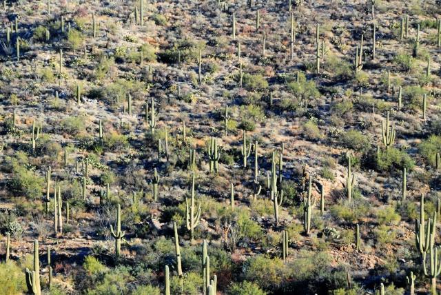 Saguaro NP (13)